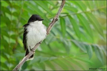 Eastern_Kingbird_1479-11
