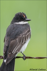 Eastern_Kingbird_1591-13
