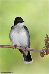 Eastern_Kingbird_9202-11