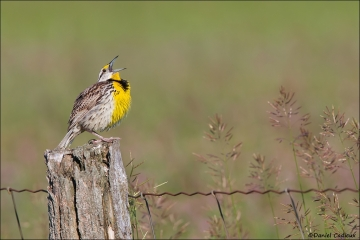 Eastern_Meadowlark_0426-15