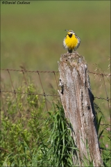 Eastern_Meadowlark_0543-15