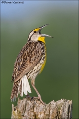 Eastern_Meadowlark_6156-14