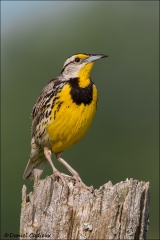 Eastern_Meadowlark_6196-14