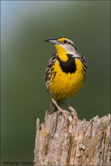 Eastern_Meadowlark_6197-14
