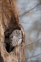 Eastern Screech-Owl_3761-18