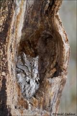 Eastern-screech_Owl_1068-15