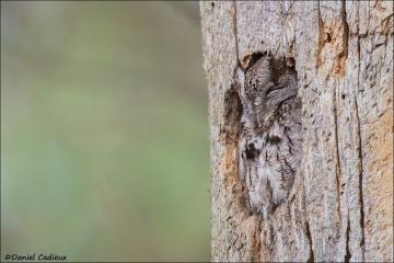 Eastern_Screech-Owl_3131-16