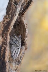 Eastern_Screech-Owl_3232-17