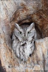 Eastern_Screech-Owl_3236-17