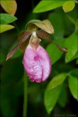 Moccasin_Flower_8444-12