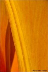 Tulip_6992-13