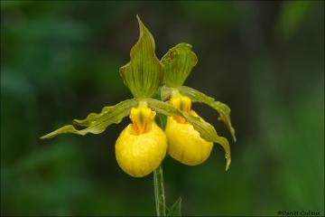 Yellow_Lady's_Slipper_7384-16