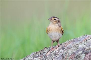 Grasshopper_Sparrow_3248-14