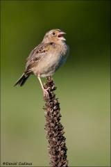 Grasshopper_Sparrow_5890-08