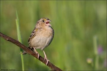 Grasshopper_Sparrow_5933-08
