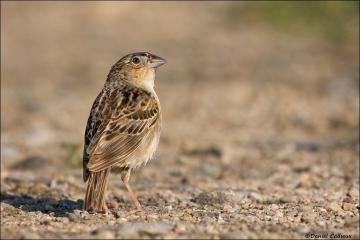 Grasshopper_Sparrow_5947-08