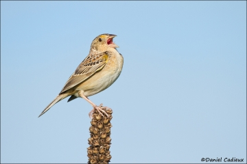 Grasshopper_Sparrow_7421-12
