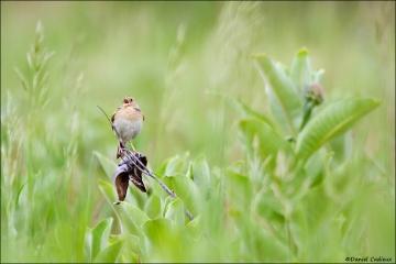 Grasshopper_Sparrow_9204-12