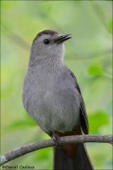 Gray_Catbird_4855-14