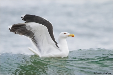 Great_Black-backed_Gull_7546-14