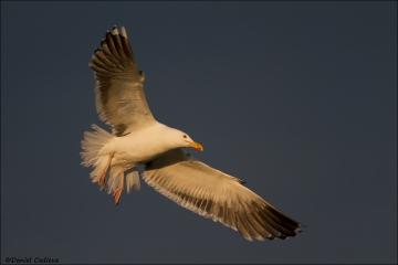 Great_Black-backed_Gull_8981-14