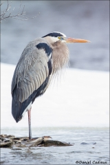Great_Blue_Heron_0262-15
