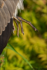 Great_Blue_Heron_0625-17
