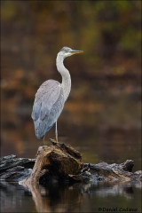 Great_Blue_Heron_0681-15