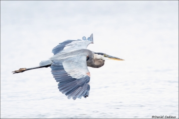 Great_Blue_Heron_0777-14