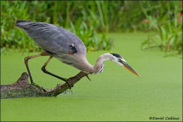 Great_Blue_Heron_1463-11