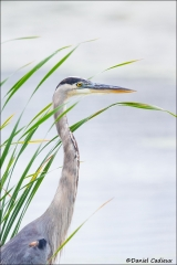 Great_Blue_Heron_3939-14
