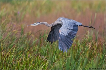 Great_Blue_Heron_5219-16