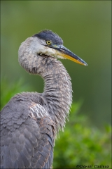 Great_Blue_Heron_6103-14