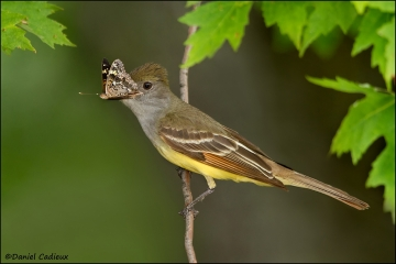 Great-crested_Flycatcher_1633-11
