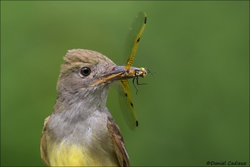 Great-crested_Flycatcher_4951-17