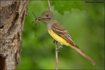 Great_Crested_Flycatcher_1584-11