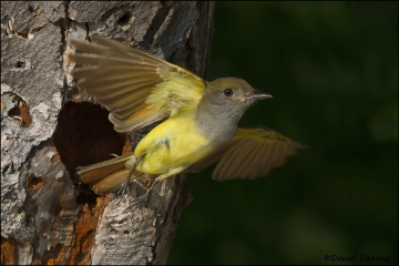 Great_Crested_Flycatcher_8977-11