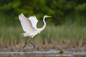 Great_Egret_0339-16