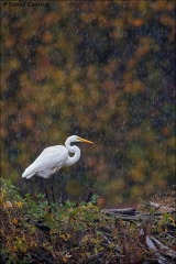 Great_Egret_0810-16