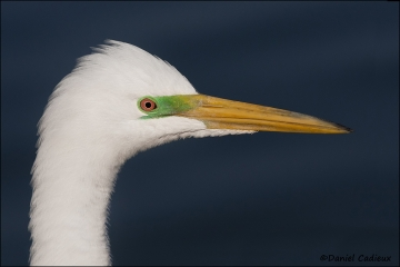 Great_Egret_3744-11