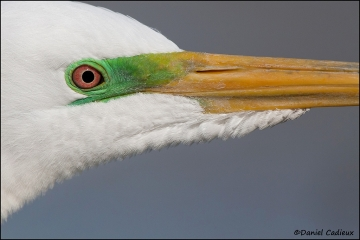 Great_Egret_3807-11