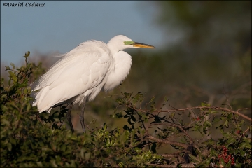 Great_Egret_5020-12