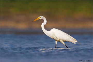 Great_Egret_5920-15