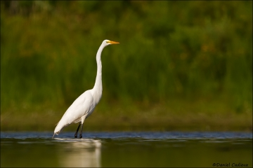 Great_Egret_5939-15