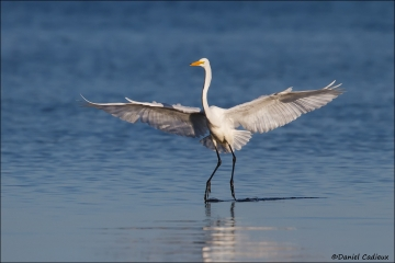 Great_Egret_7301-15