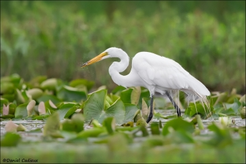 Great_Egret_7931-16