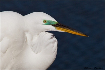 Great_Egret_R1E6996-11