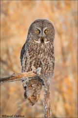 Great_Gray_Owl_0297-13