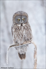 Great_Gray_Owl_0478-13