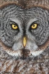 Great_Gray_Owl_1858-13
